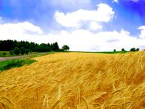 campo-de-trigo_peq